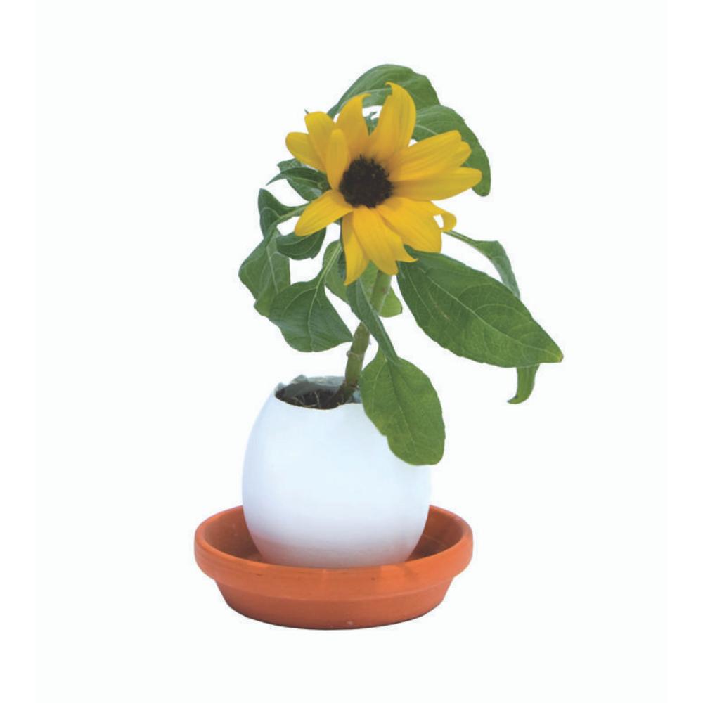 Яйчице със Слънчоглед